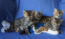Helpful Bengal kittens For Sale