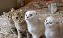 HFFJHDJG CDD Scottish Fold Kittens
