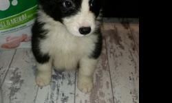 HGC$$J Quality Male Border collie puppy for sale