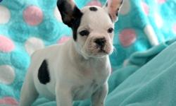 hgfhfgthd French Bulldog puppies