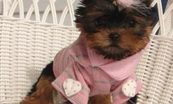 hggteegddg Tiny Yorkie Puppies for sale