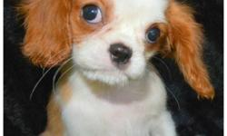 hhddmvb Sweet cavalier-king-charles-puppies