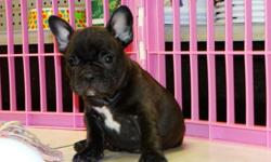 hhgffdvcsd mc jack blue french bulldog puppies available now