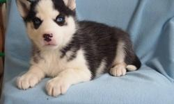 HhsgaAh Home raised boy/girl huskies ready for new homes