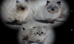 Himalayan Doll-faced Kittens Purebred