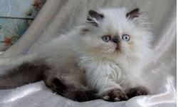 Himalayan Kitten READY TO GO!! Chocolate Pointed Male