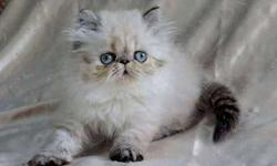 Himalayan Kitten READY TO GO! Seal Lynx Pointed