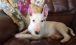 HJGDZCZECI Bull Terrier Puppies For Sale