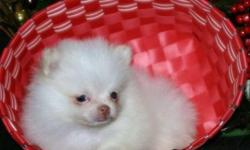 HJgtFRds Teacup Pomeranian Pups For Sale