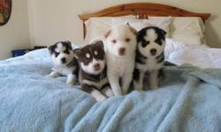 Hjhd Charming litter of huskies babies available now anhj