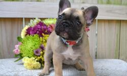 hjnhnhy French Bulldog puppies