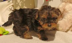 huhtd Akc QUALITY Teacup Yorkie puppies (They are PERFECTION