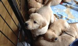 Hybrid Golden Lab pups just born! Reserve now, exceptional,
