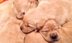 Hybrid Golden Lab pups! Reserve now, exceptional, gorge