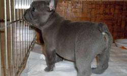 Icee Blue French Bulldog Puppies