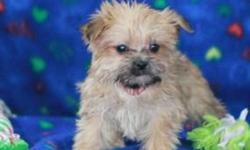 ikou Friendly Morkie puppies ready to go