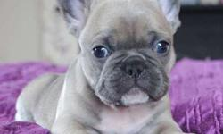 IM civil Girl and Boy French Bulldog Puppies