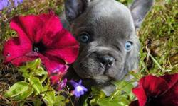IMadept Girl and Boy French Bulldog Puppies