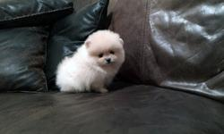 Imputable Tea cup pomeranian puppies available