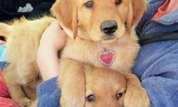 Incredible Male and Female Golden Retriever Puppies