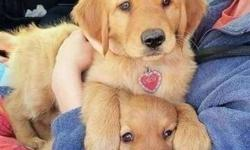Insightful Male and Female Golden Retriever Puppies