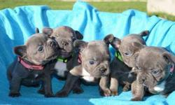 intelligent Girls and Boys French Bulldog Puppies