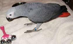 Inyv Awesome African Grey Parrots Good Home