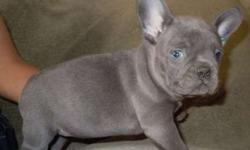 Iquality Girl and Boy French Bulldog Puppies