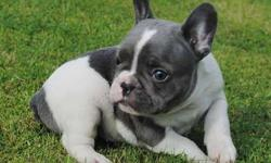 Isuprem Girl and Boy French Bulldog Puppies