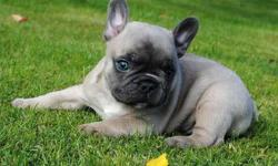 Iuli Blue French Bulldog Puppies
