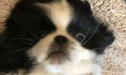 "Japanese Chin Male ""Oliver"""
