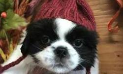 "Japanese Chin Male ""Oscar"" Black/White"