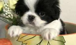 "Japanese Chin Male ""Timone"""