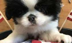 "Japanese Chin Male ""TweedleDumb"""
