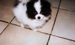 jbsdhabsa pomeranian pup for sale now
