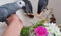 JEEE Congo African Grey Parrots For New Home