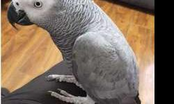 JETL Congo African Grey Parrots For New Home