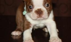JGFDYUE Boston Terrier Puppies For Sale