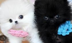 Jggtgffddfhextremely cute pomeranian puppies