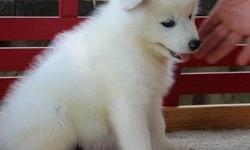 .jghdfdtyr i Samoyed Puppies For Sale
