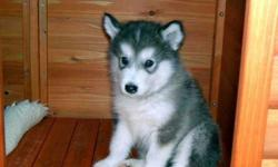 jhduiewjkasz Alaskan Malamute Puppies M/F Available