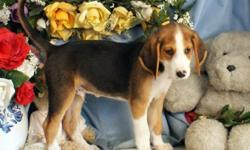 jhfgjdf Awesome American Foxhound puppies
