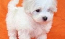 jhgsdf Well Socialized Teacup Maltese Puppies