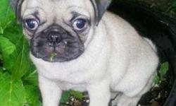 jhjhd Meet Molly! Molly the nice looking pug puppy that is