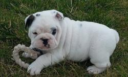 jkdsHESTER English Bulldog Puppies For Sale