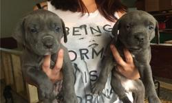 jkxnbbfkb Pure breed Cane Corso puppies