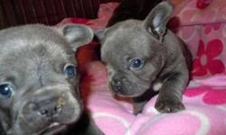 Joyful Micro Blue French Bulldog Puppies