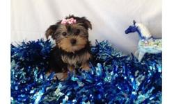 JUHGS T- Cup Sweet Yorkie Terrier Puppies for SALE now