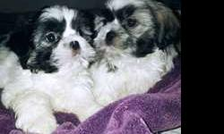 Just in time for the Holiday's Pure bred Shih Tzu