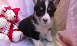 jxewete Pembroke Welsh Corgi Puppies for Sale
